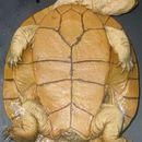 Image of Steindachner's snakeneck turtle