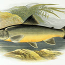 Image of Haddy charr
