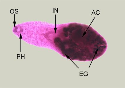 Image of intestinal fish fluke