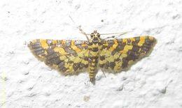 Image of <i>Eurrhyparodes tricoloralis</i> Zeller 1852