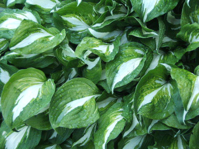 Image of <i>Hosta undulata</i>