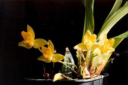 Image of <i>Lycaste cruenta</i> (Lindl.) Lindl.