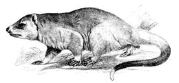 Image of <i>Lutreolina crassicaudata</i> (Desmarest 1804)