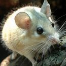 Image of Arabian Spiny Mouse