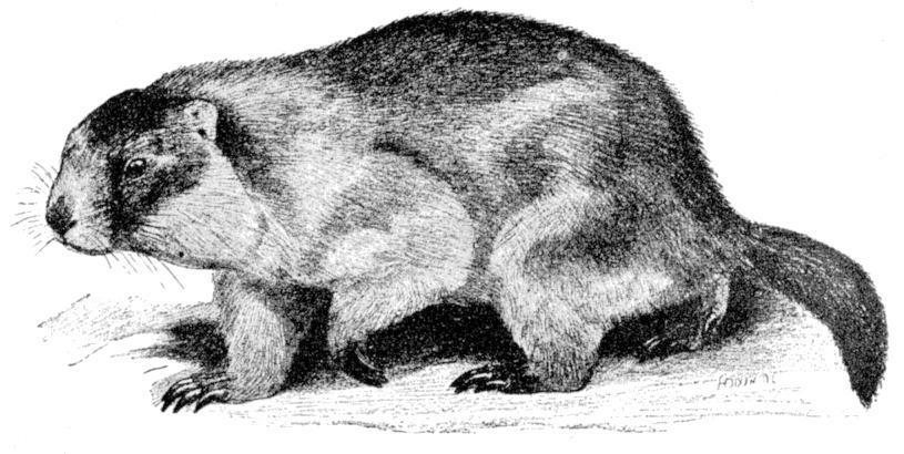 Image of <i><i>Marmota</i></i> (Marmota) <i>caudata</i> (Geoffroy 1844)