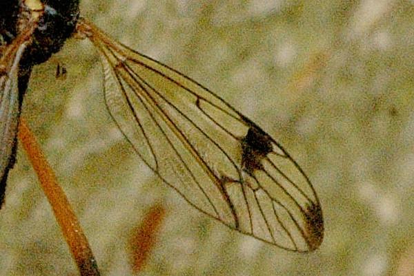 Image of <i>Dictenidia bimaculata</i> (Linnaeus 1760)