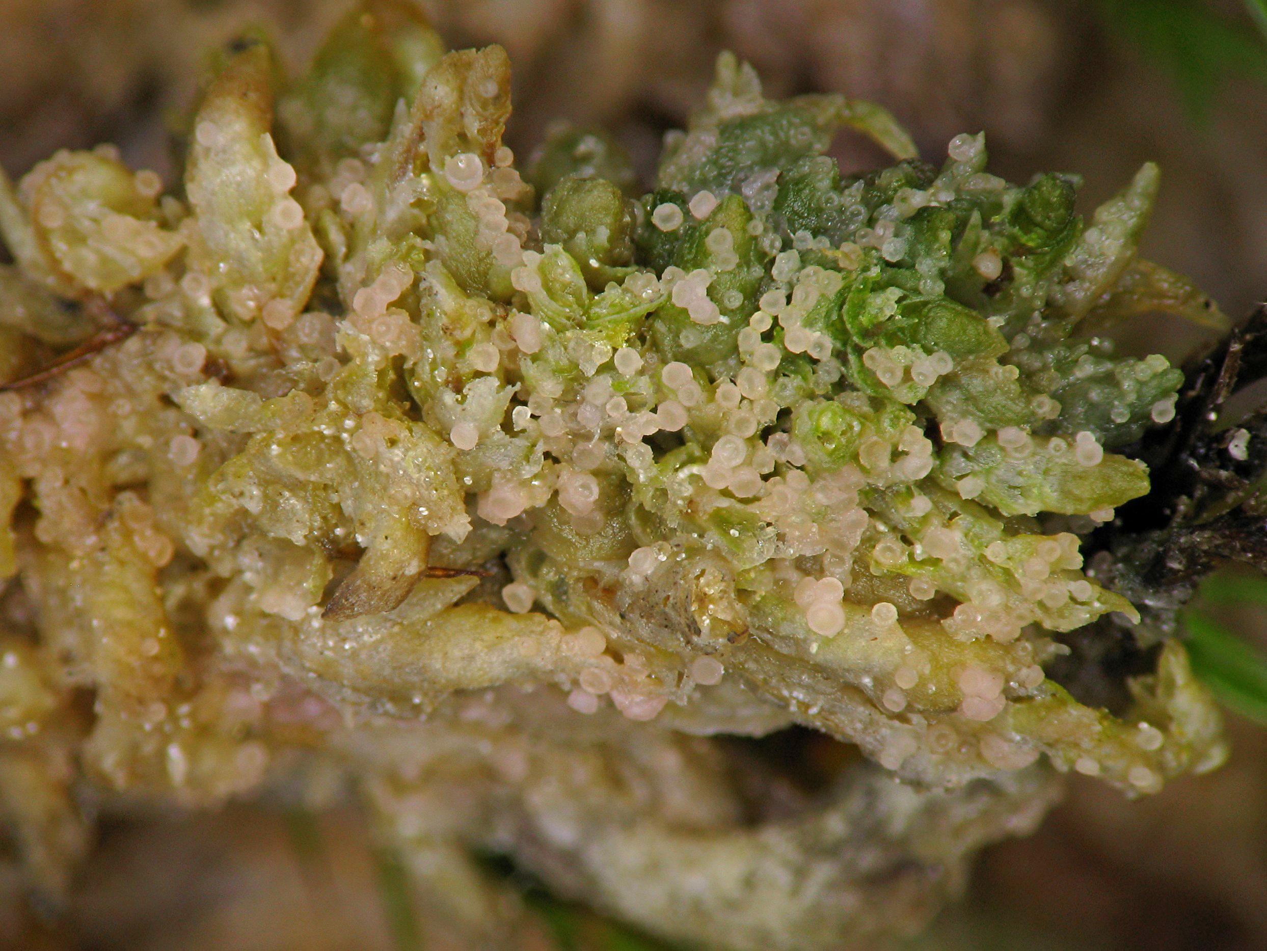 Image of absconditella lichen