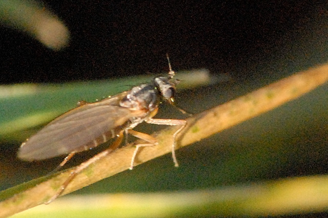 Image of Lonchoptera