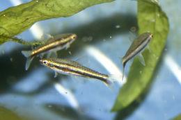 Image of Least pencilfish