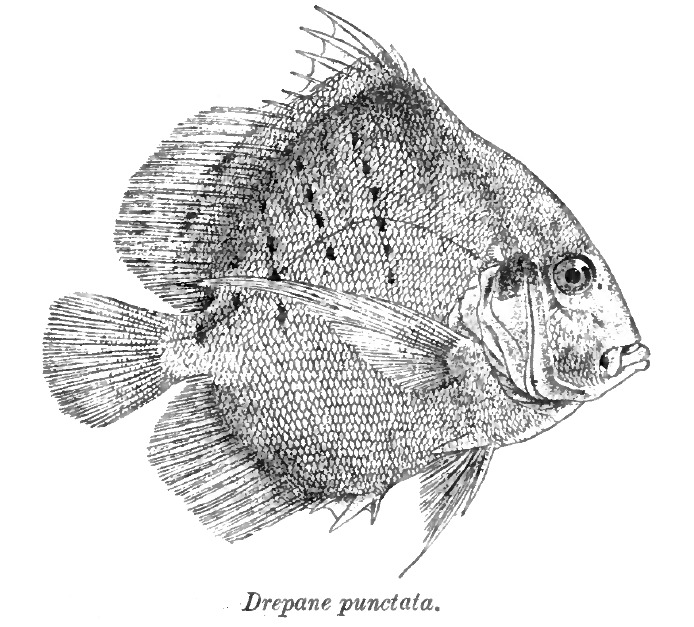 Image of spotted sicklefish