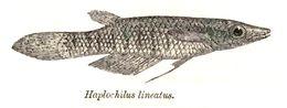 Image of <i>Aplocheilus lineatus</i> (Valenciennes 1846)