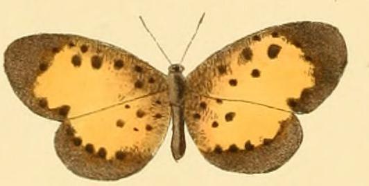 Image of <i>Pentila rotha</i> Hewitson 1873