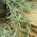 Image of <i>Tillandsia incarnata</i> Kunth