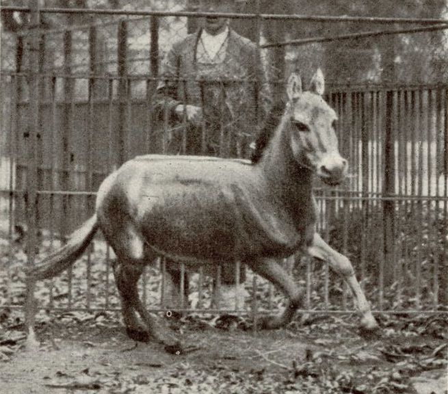 Image of Syrian Wild Ass