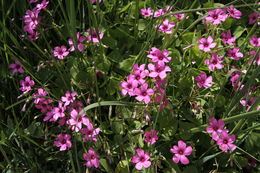 Image of Pink Sorrel