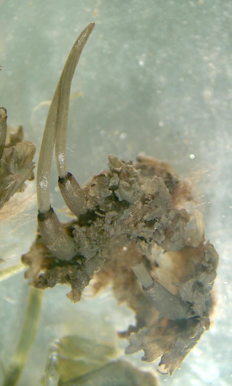 Image of hornwort