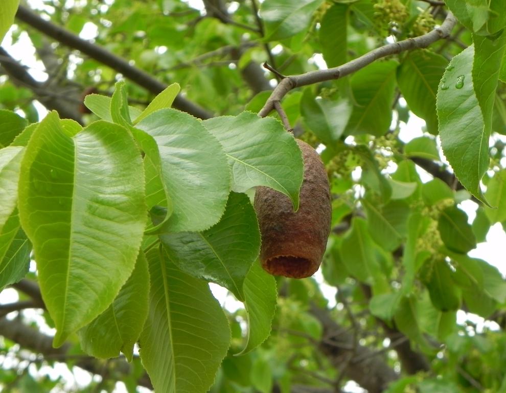 Image of <i>Cariniana estrellensis</i> (Raddi) Kuntze