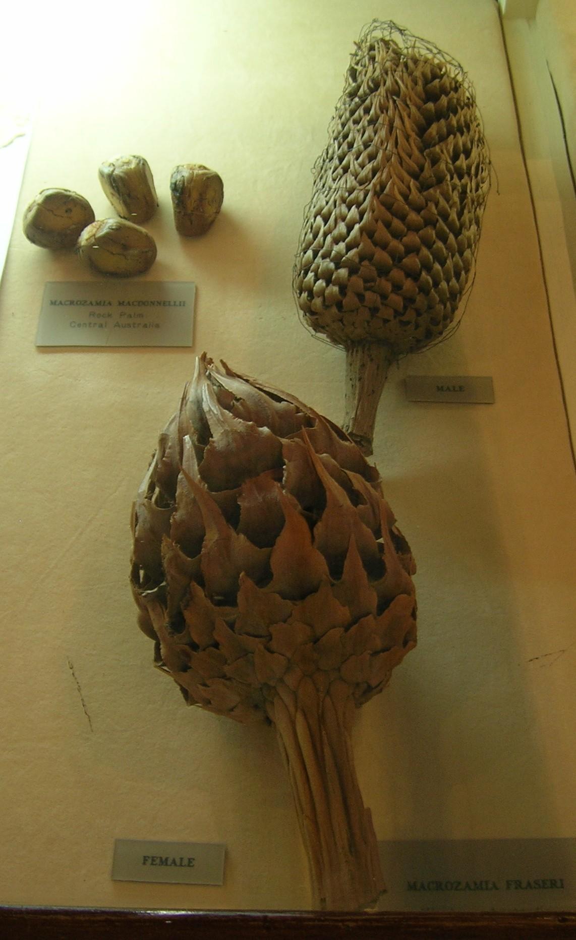 Image of <i>Macrozamia macdonnellii</i> (F. Muell. ex Miq.) A. DC.