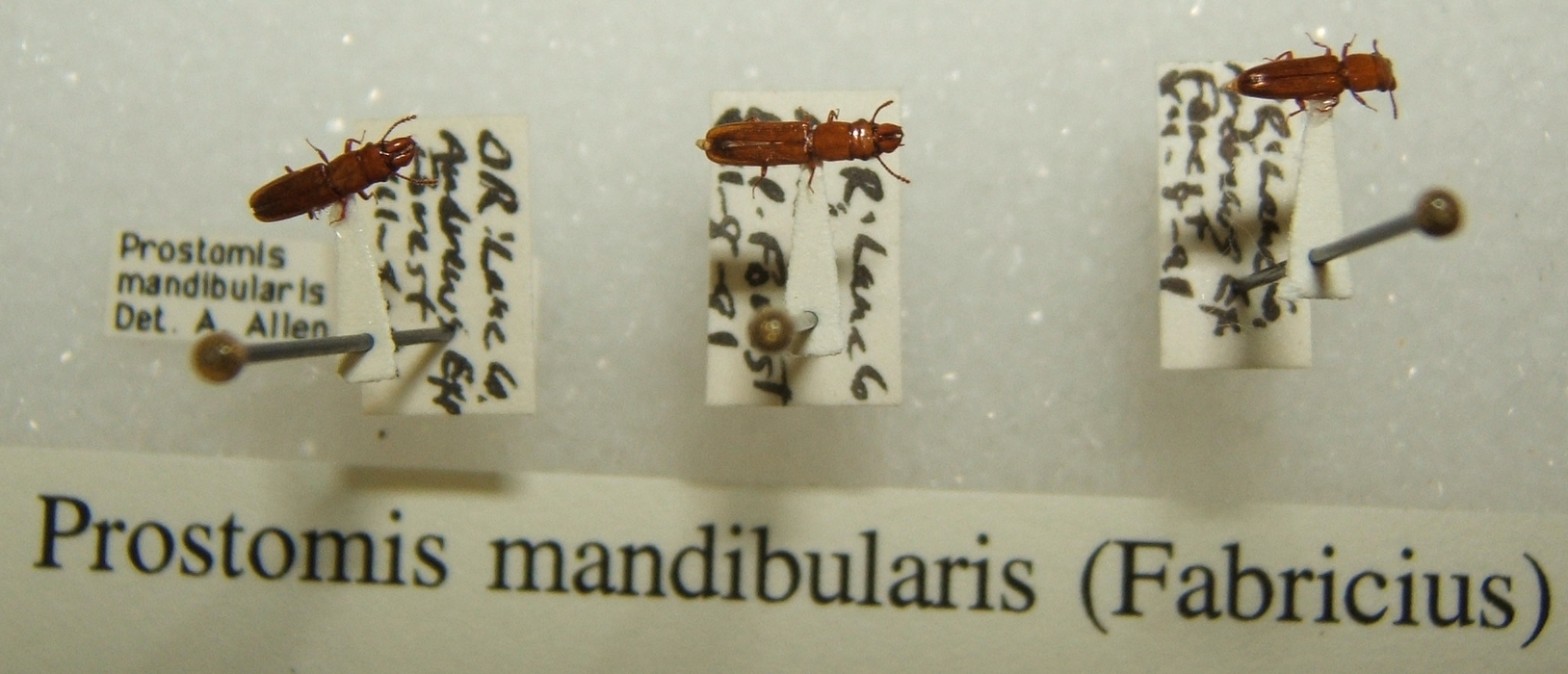 Image of <i>Prostomis mandibularis</i> (Fabricius 1801)