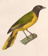 Image of Western Wattled Cuckooshrike