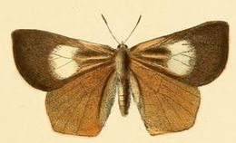 Image of <i>Euliphyra leucyania</i> (Hewitson 1874)
