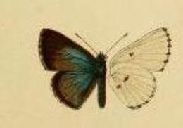 Image of <i>Philiris angabunga</i> (Bethune-Baker 1908)