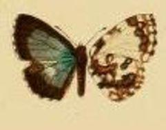 Image of <i>Thaumaina uranothauma</i> Bethune-Baker 1908