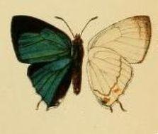 Image of <i>Etesiolaus catori</i> Bethune-Baker 1904