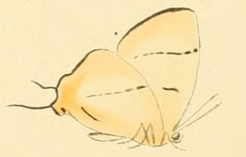 Image of <i>Aphniolaus pallene</i> (Wallengren 1857)