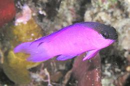 Image of Blackcap Basslet