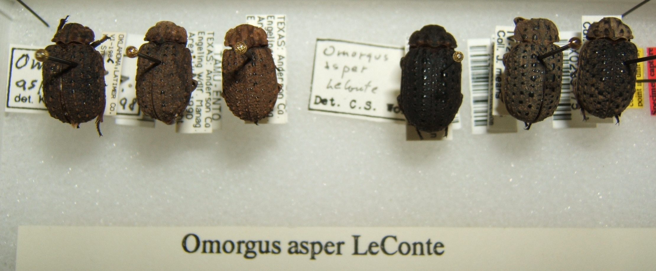 Image of <i><i>Omorgus</i></i> (Omorgus) <i>asper</i> Le Conte 1854