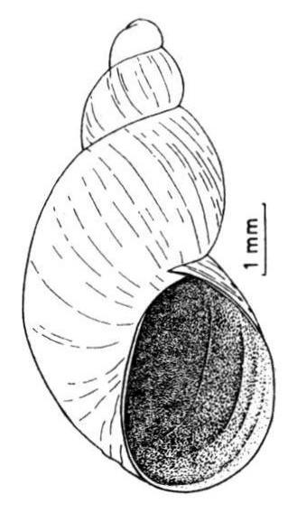 Image of <i>Succinella oblonga</i>