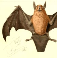 Image of Lesser Bulldog Bat