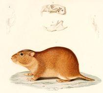 Image of <i>Ctenomys brasiliensis</i> Blainville 1826