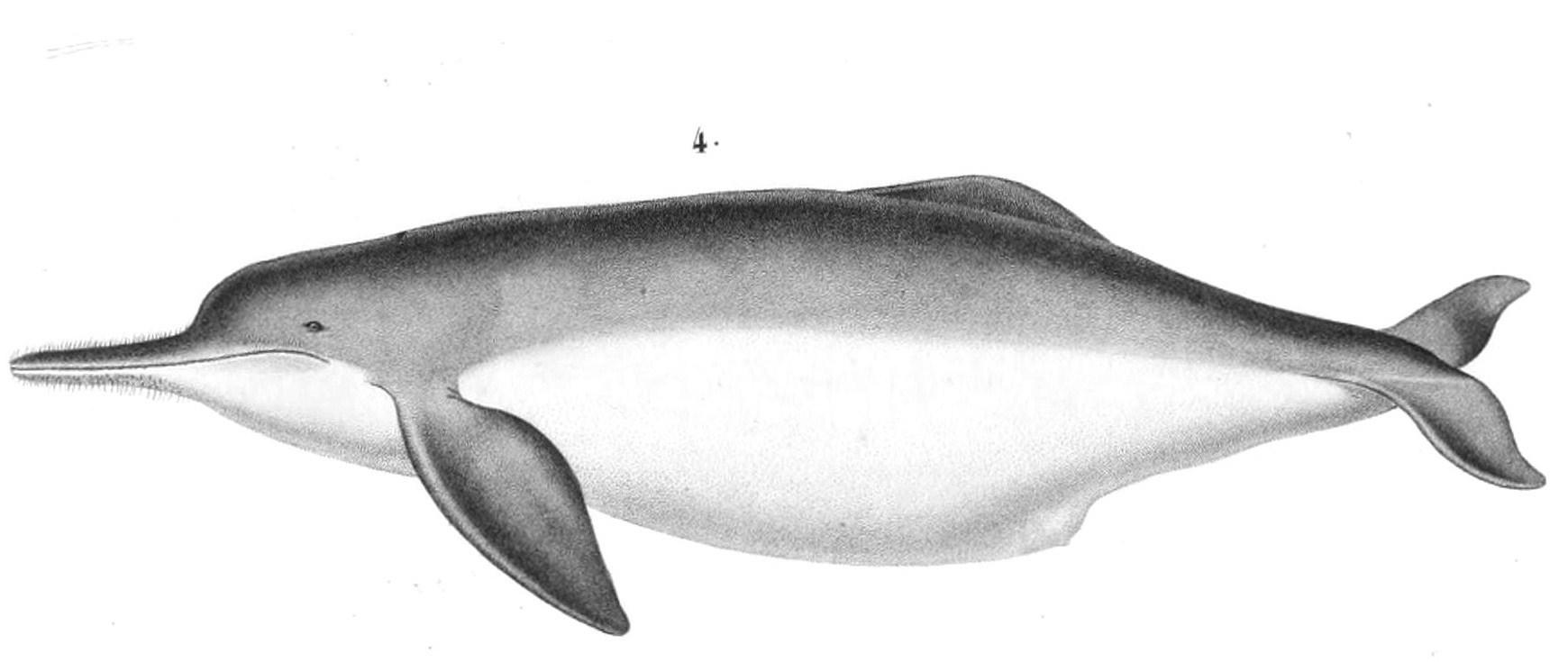 Image of <i>Inia geoffrensis boliviensis</i> d'Orbigny 1834