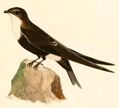Image of White-tipped Swift