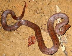 Image of Ashy Kukri Snake