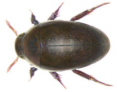 Image of Noterus clavicornis