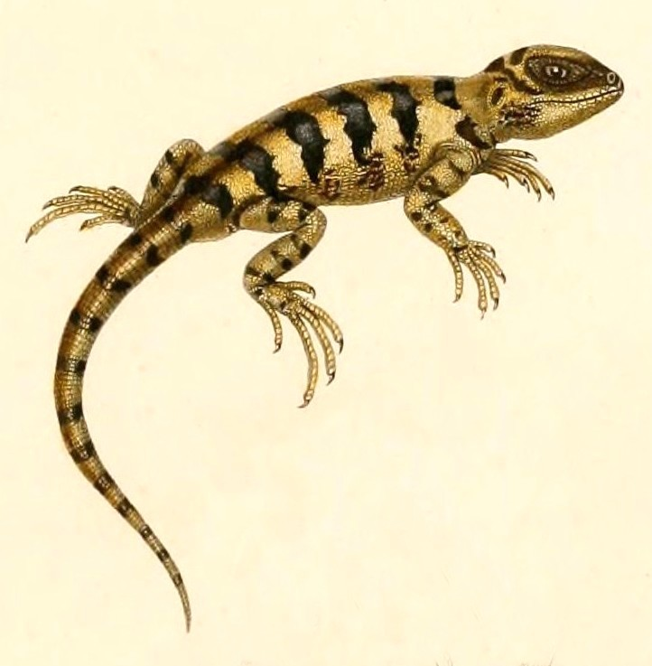 Image of D'Orbigny's Banded Anole