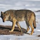 Image of Steppe Wolf