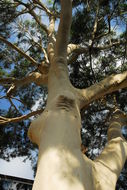 Image of lemonscented gum