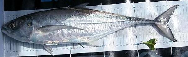 Image of Torpedo scad