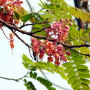 Image of <i>Cassia grandis</i> L. fil.