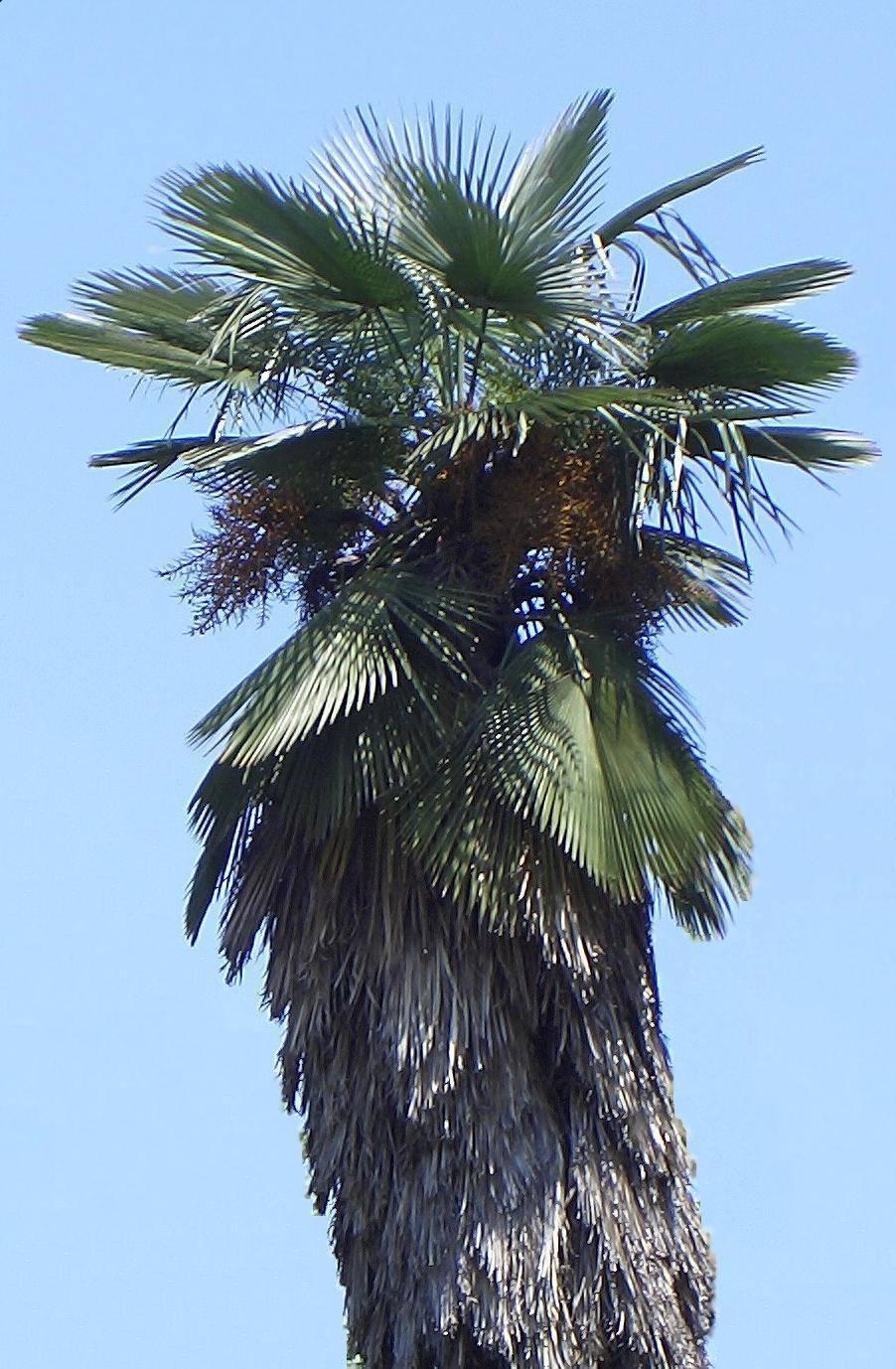 Image of Kumaon Fan Palm