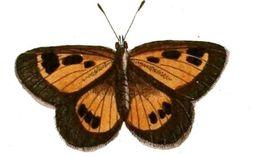 Image of <i>Thestor protumnus</i> (Linnaeus 1764)