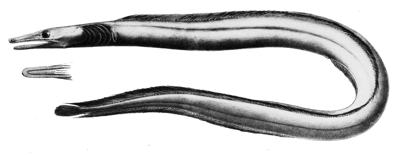 Image of <i>Nettenchelys taylori</i> Alcock 1898