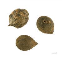Image of <i>Astrocaryum vulgare</i> Mart.