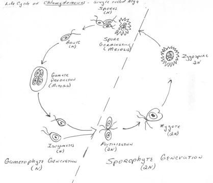 Image of Chlamydomonas
