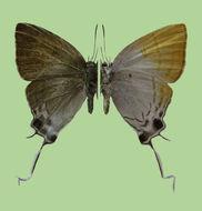 Image of <i>Zeltus etolus</i> (Fabricius 1787)