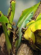 Image of Green Tree Skink